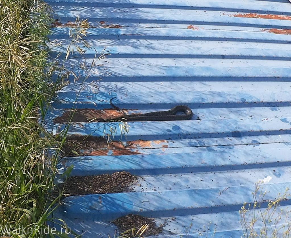 Утром нас посетила змея, решившая повалятся на солнце, на ужа она не похожа, но проверять уж это или нет не стали. Чуть позже к ней присоединилось еще 2 классических ужа и одна змея такой же расцветки.